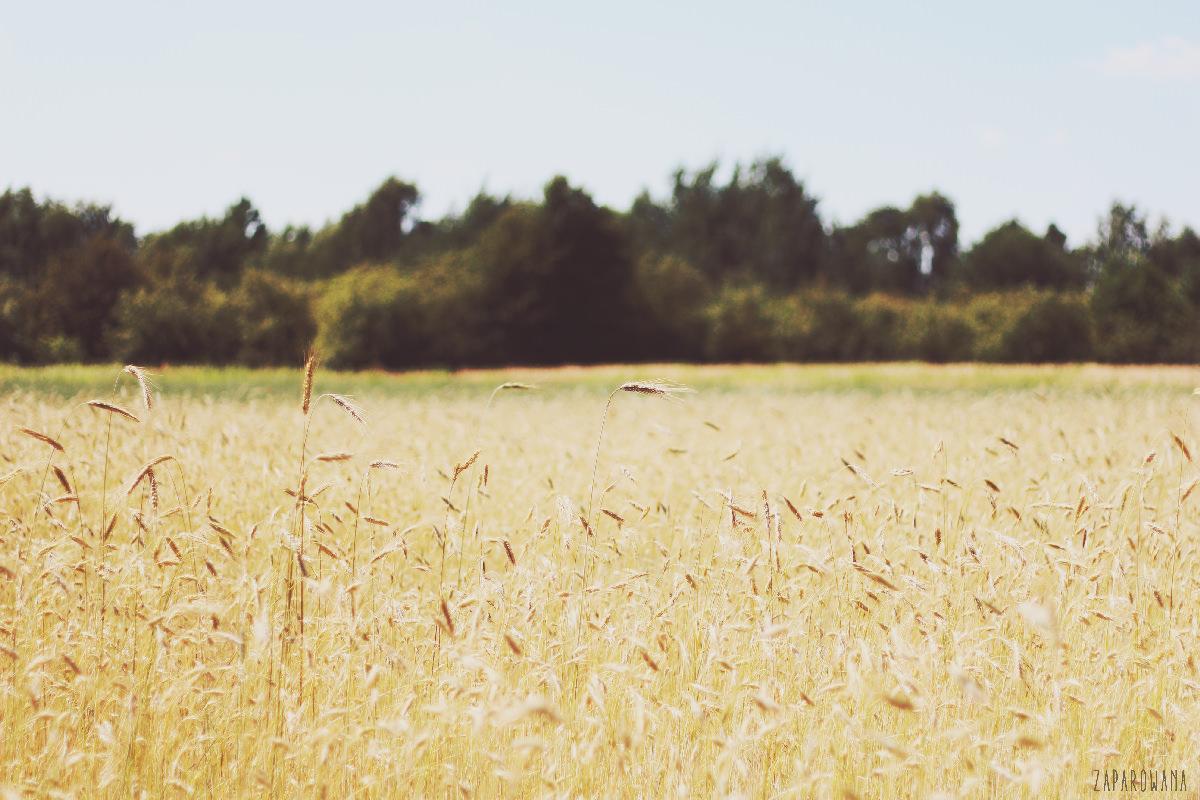 zaparowana - działka - fields of gold
